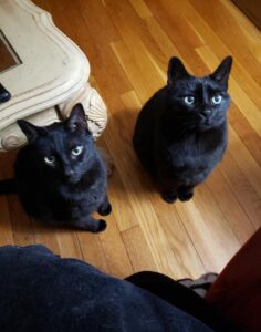 Two BlaTwo black cats looking up from hardwood floor