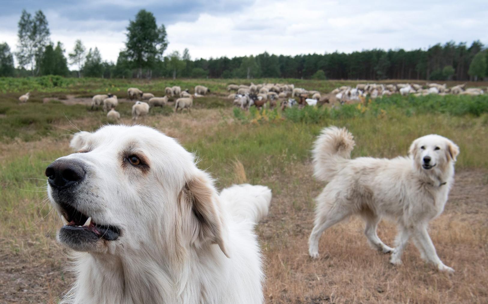 Dogs in a field.