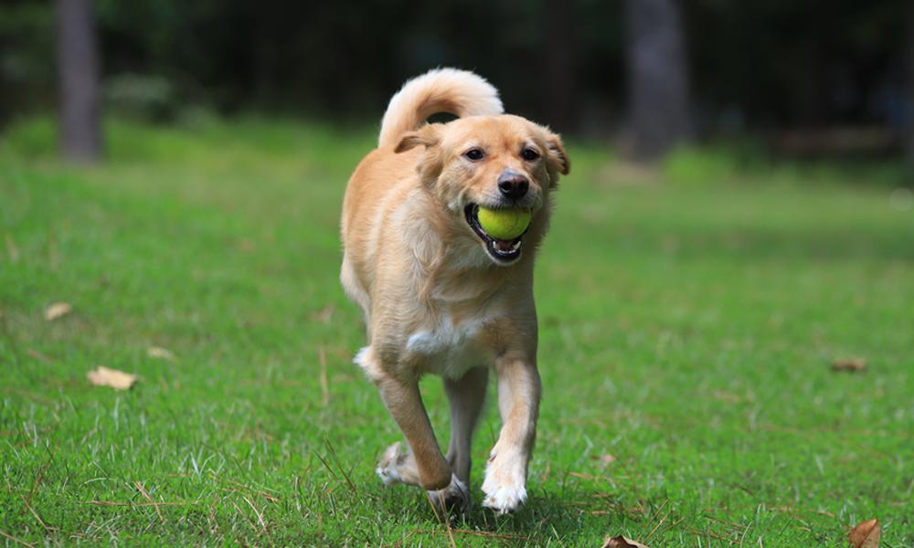 Yellow Dog running w/ Tennis ball